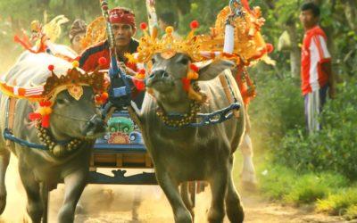 Buffalo Races Bali